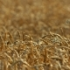 Beautiful Wheat Field - VideoHive Item for Sale