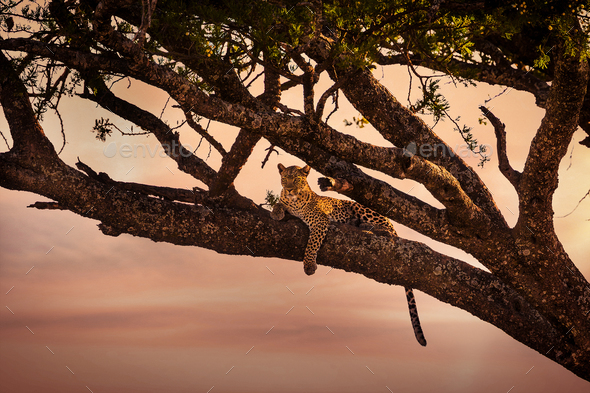 Leopard rests in a tree at sunset - Stock Photo - Images