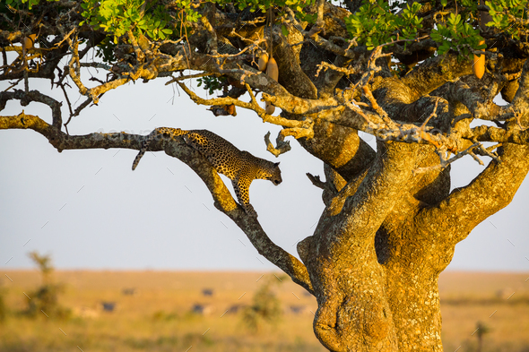 Leopard rests in a tree after meal - Stock Photo - Images