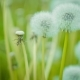 Dandelion Field  Over Nature Green Blurred Background - VideoHive Item for Sale