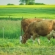 Two Beautiful Brown Cow Feeding Grass, Yellow Rape Fileds on Background - VideoHive Item for Sale