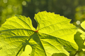 Leaf of grape glowing in sunlight - PhotoDune Item for Sale