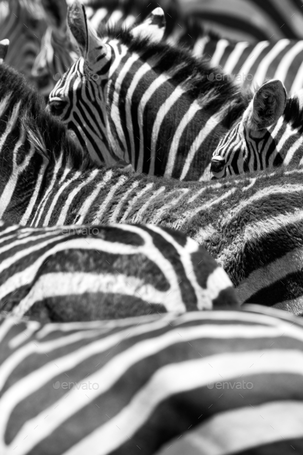 Close up of the black and white zebra stripes - Stock Photo - Images