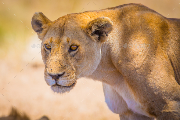 Close up of one large wild lioness in Africa - Stock Photo - Images