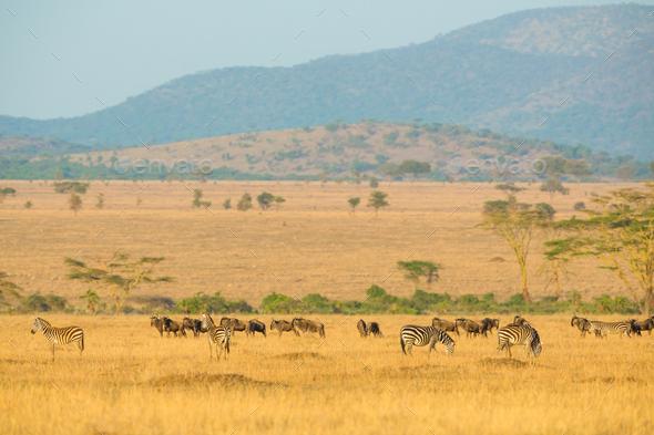 Herds of wild animals grazing in Serengeti - Stock Photo - Images