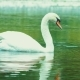 Single White Beautiful Swan Swiming in Lake, Water Reflection - VideoHive Item for Sale