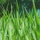 Green Grassmoved By Wind. Blurred House in Background - VideoHive Item for Sale
