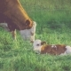 White Brown Cow with His Lamp Laying on Grass and Resting, Green Grass on Background - VideoHive Item for Sale