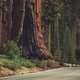 Giant Sequoia Generals Highway - PhotoDune Item for Sale
