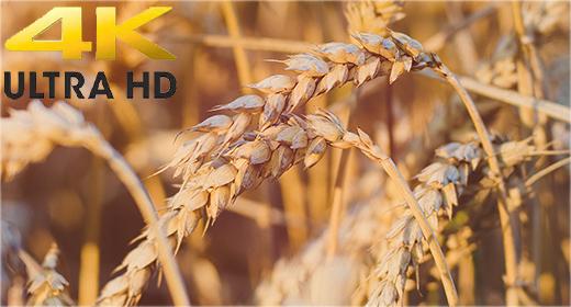 Wheat & Fields 4K