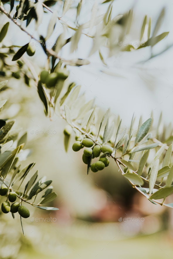 Olive branch - Stock Photo - Images