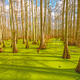 Cypress Trees in Spring Light - PhotoDune Item for Sale