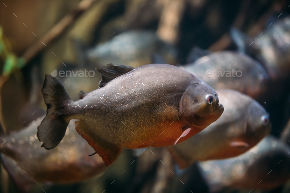 Red-bellied Piranha Or Red Piranha Fish Pygocentrus Nattereri Sw - Stock Photo - Images