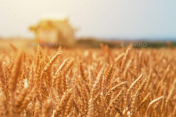 Combine harvester machine harvesting ripe wheat crops - Stock Photo - Images