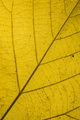 Yellow leaf detail - PhotoDune Item for Sale