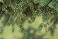 Norway spruce tree detail - PhotoDune Item for Sale