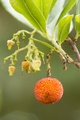 Strawberry tree fruit - PhotoDune Item for Sale
