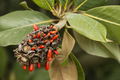Magnolia red seeds. - PhotoDune Item for Sale