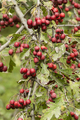 Common hawthorn fruits. - PhotoDune Item for Sale