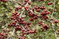 Common hawthorn fruits and flowers. - PhotoDune Item for Sale