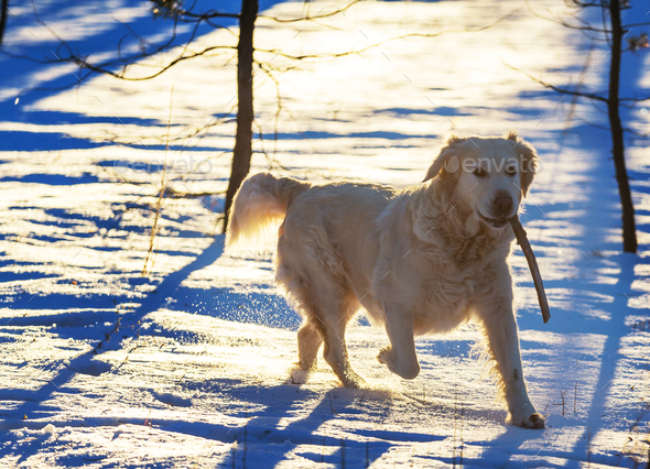 Retriever in winter forest - Stock Photo - Images