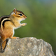 Eastern Chipmunk - Tamias striatus, sitting hind legs on a rock.  - PhotoDune Item for Sale