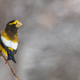 Evening Grosbeak-Coccothraustes vespertinus, male perched on a branch during a snowfall. - PhotoDune Item for Sale