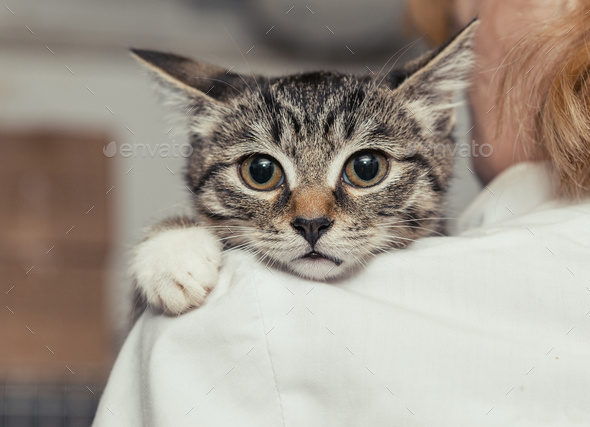 Small  kitten in the hands of doctor - Stock Photo - Images