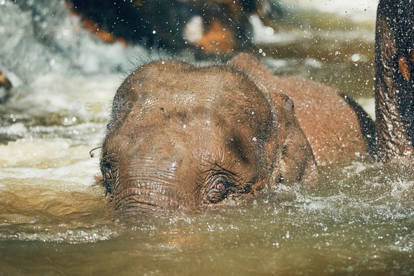 Elephant playing in the river - Stock Photo - Images