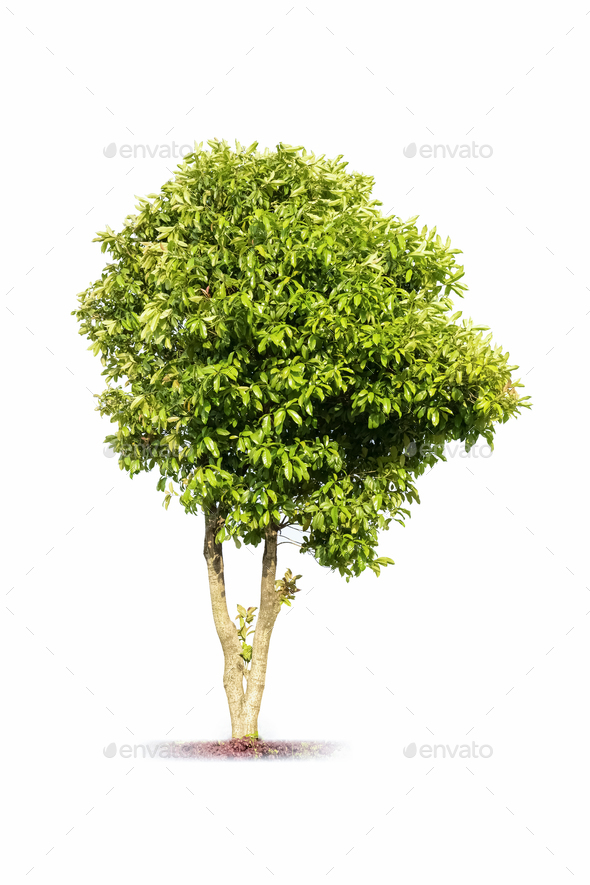 sweet scented osmanthus tree - Stock Photo - Images