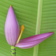 Pink banana flower is beautiful with the nature - PhotoDune Item for Sale