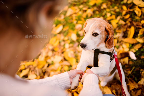 A senior woman in wheelchair with dog in autumn nature. - Stock Photo - Images