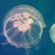 Jellyfish Dance in the Water - VideoHive Item for Sale