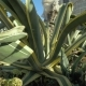 Striped Agave Americana - VideoHive Item for Sale