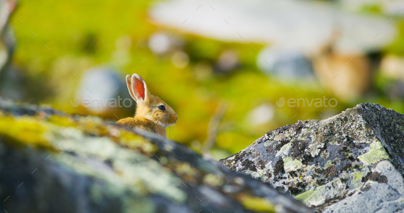 Cute rabbit in fall sitting in the grass behind rocks. - Stock Photo - Images