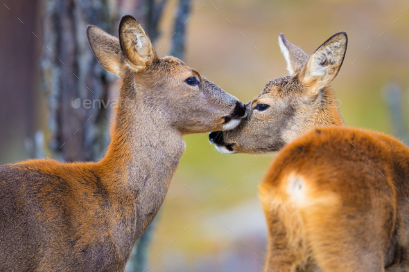 Two cute roe deers in the forest at fall - Stock Photo - Images