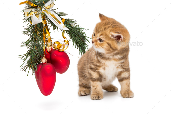 Small British kitten and Christmas decorations - Stock Photo - Images