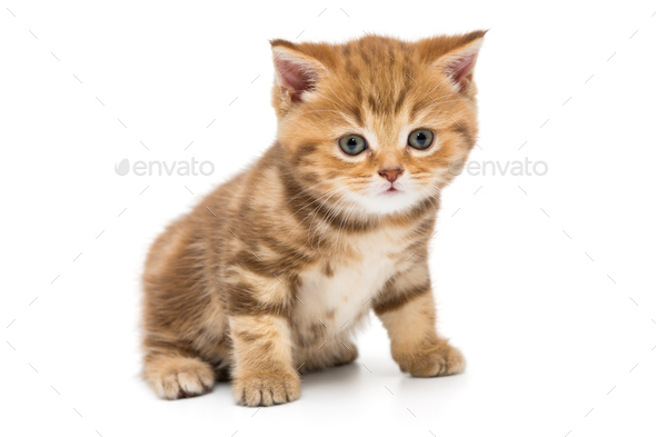 Small striped kitten breed British - Stock Photo - Images