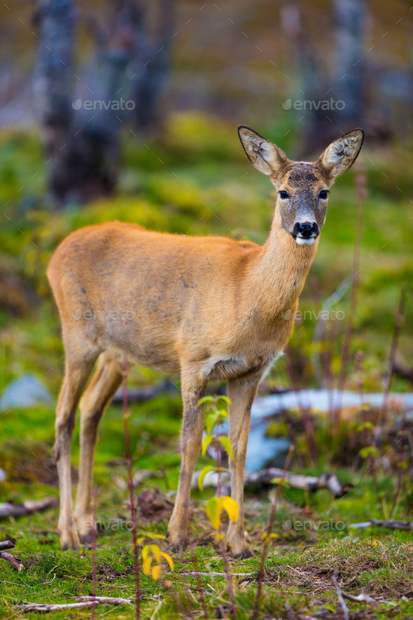 One roe deer in the forest at fall - Stock Photo - Images