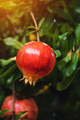 Ripe pomegranate fruit on the tree branch - PhotoDune Item for Sale