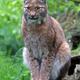 Lynx - PhotoDune Item for Sale