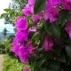 A Pink Flowers of Bougainvillea Tree in the Park - VideoHive Item for Sale