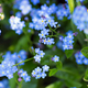 Forget-me-not - PhotoDune Item for Sale