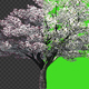 Cherry Tree - VideoHive Item for Sale