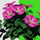 Growing Petunia Flowers - VideoHive Item for Sale