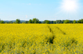 Bright yellow canola field under blue sky summer day - PhotoDune Item for Sale