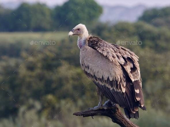 Griffon vulture (Gyps fulvus) - Stock Photo - Images