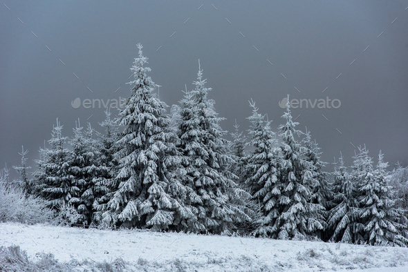 Beautiful snowy fir trees in the mountains - Stock Photo - Images