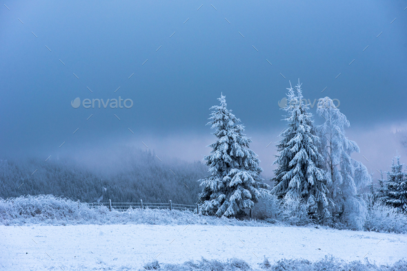 Winter concept. Fir trees covered by snow and hoarfrost - Stock Photo - Images