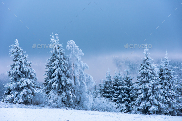 Majestic blue lights in the mountains on snow covered fir trees - Stock Photo - Images